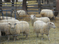 40 Yearling ewe lambs for sale.