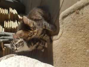 Maine Coon x kittens for sale