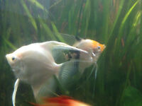paired off angel fish