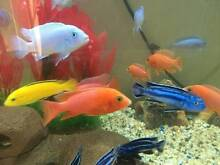 Add colours to your tank. Chichlids for Sale Blacktown Blacktown Area Preview