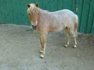 "40"" Miniature Horse - Oversized"