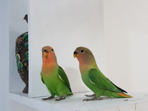 Beautiful and tame lovebird babies