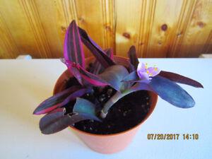 Purple Queen/Heart - (Setcreasea)