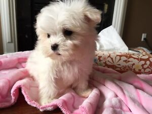 Adorable Tiny Teacup Maltese Puppies