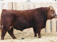 Red Polled Simmental yearling and 2 year old bulls