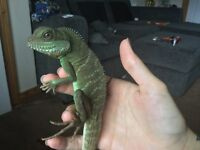Chinese water dragon and viv..can sell sep