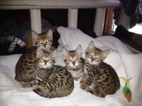 PUREBRED ROSETTED BENGAL KITTENS FOR ADOPTION