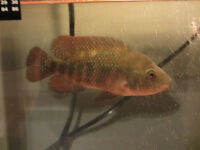 "7""Wild Male Red Terror cichlid-exCichlasoma Festae(fish,poisson)"