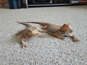 3 Bearded Dragons + 2 55gallon tanks + accessories