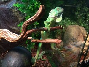 Young Green Iguanas for sale!
