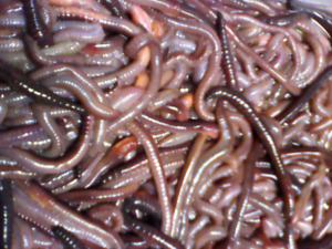 Large Nightcrawlers (dew worms) for sale. Available year round