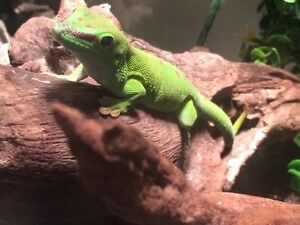 Gecko de madagascar