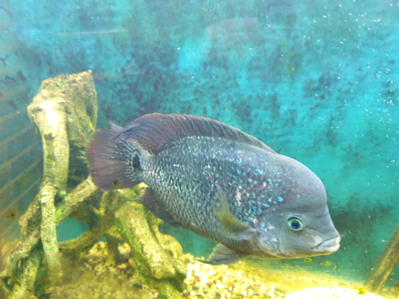 Flowerhorn fish for sale | in Stockport, Manchester | Gumtree
