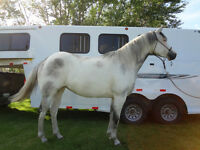 5 year old APHA mare