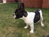 French bulldog puppy less than 5 months for sale