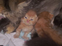 Pure Persian Babies Have finally Arrived