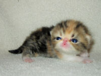 5 Gorgeous Purebred Exotic Kittens born July 11 (2 F & 3 M)