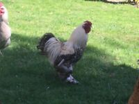 Bantam rooster free to good home