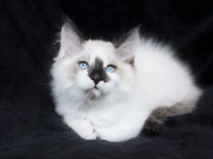 RAGDOLL KITTENS ARE READY FOR ADOPTION