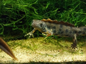 3 male crested newts