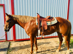 Horses, Ponies for Sale or Adoption in St  Catharines   Kijiji