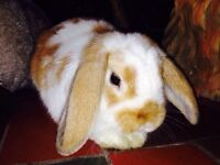 Unaltered male holland lop bunny for sale