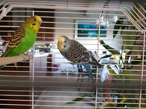 2 Budgies for sale | Blue and Green | Both Male