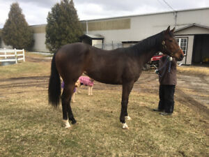 Stunning Dark Bay T.B. Two year old Filly