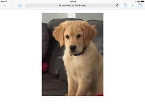Searching for Cody, my golden retriever pup in London