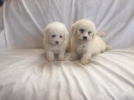 Cockapoo F1B Puppies
