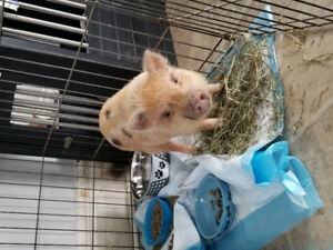 2 female potbelly pigs- Light colored girl is SOLD