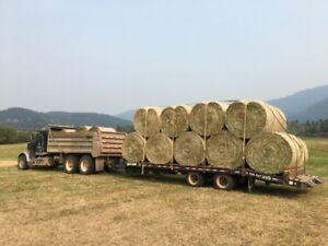 Cow hay