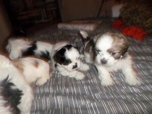 Shih Tzu puppies for sale..ONE LEFT!