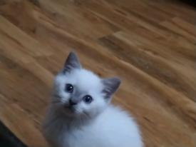 British shorthair x Ragdoll Female Kitten