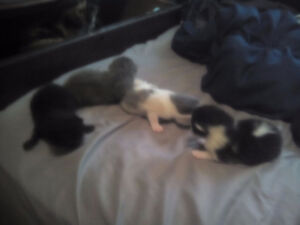 4, 8 week old kittens for sale