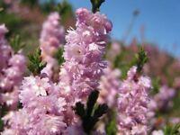 9cm Pot Heather Calluna Vulgaris Radnor Miss Appleby Summer Autumn Upright - growon shrubs - ebay.co.uk