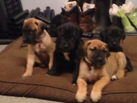 Great Dane pups for sale
