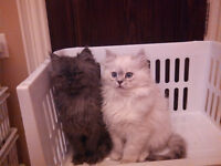 British Persian Chinchilla kittens