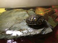 Female terrapin n full set up