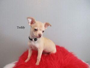 ***Magnifiques et Adorables Chiots Chihuahua Pur RaceEnr. CCC***