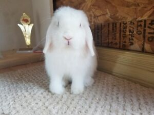 Purebred Holland Lops and Netherland Dwarfs available