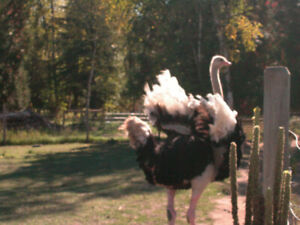 Ostrich Breeders for Sale
