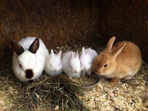 Dwarf Bunnies
