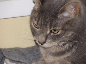 Cat: Female Grey Calico