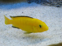 Electric Yellow Labs African Cichlids