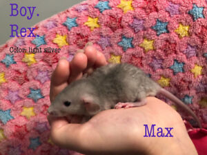 Hand raised, friendly dumbo rat BABY BOYS looking for homes!