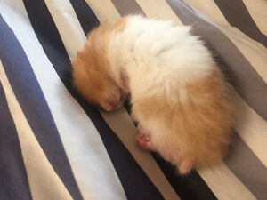 Syrian Hamster with all Nessesities Kitchener / Waterloo Kitchener Area image 3