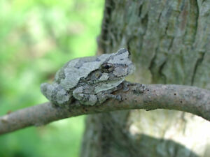 Looking for grey tree frog