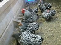 Pure bred Silver Laced Wyandotte Bantam chickens etc. for sale