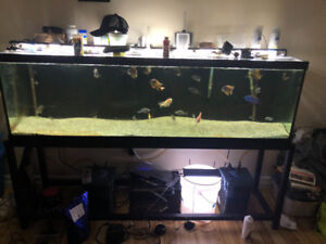 Looking to sell 8 adult peacock cichlids